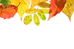 Autumn leaves on white background. Autumn leaves background.Horizontal view Royalty Free Stock Image
