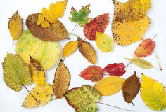 Autumn leaves on the white background. Autumn leaves in different colors and shapes from different trees isolated on the white background royalty free stock images