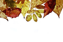 Autumn leaves on white background. Horizontal view Royalty Free Stock Images