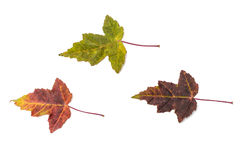 Autumn leaves. On a white background Stock Photos