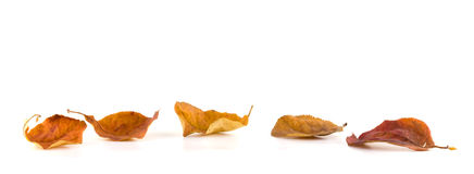 Autumn leaves. On a white background Royalty Free Stock Image