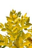 Autumn leaves on white background royalty free stock photo