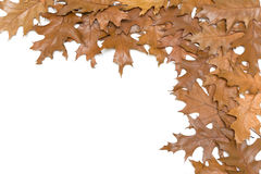 Autumn leaves on a white background Stock Image