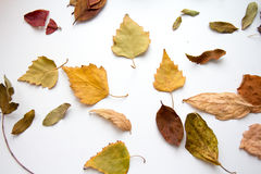 Autumn leaves on white background royalty free stock photography