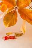 Autumn leaves on white background. Orange autumn leaves on white background Royalty Free Stock Image