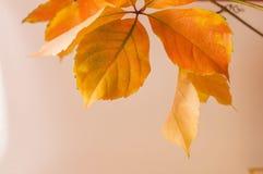 Autumn leaves on white background. Orange autumn leaves on white background Royalty Free Stock Photography