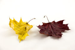 Autumn leaves on white background Royalty Free Stock Photos