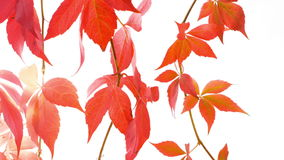 Autumn leaves on white background stock footage