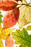 Autumn leaves on white background. Vertical view Royalty Free Stock Photography