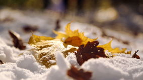 Autumn leaves on white snow close-up. The leaves fall on the snow in the park. The first snow in the autumn park. stock footage