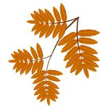 Autumn leaves of wild ash Stock Photography