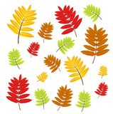 Autumn leaves of wild ash Stock Images