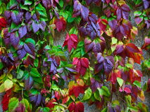 Autumn leaves of wild grapes. Bright all-coloured autumn leaves of wild grapes on the wall Royalty Free Stock Photography