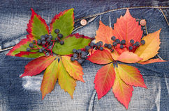 Autumn leaves with of wild grapes on a denim background Stock Photos