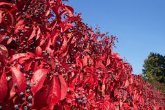 Autumn leaves of wild grapes. Red autumn leaves of wild grapes on a background of the sky Stock Photography