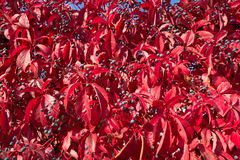 Autumn leaves of wild grapes. Red autumn leaves of wild grapes, completely in the frame Royalty Free Stock Photography