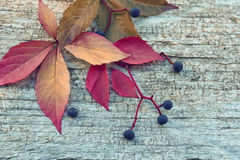 Autumn leaves of wild grapes, red, yellow and berries on old wooden cracked background. Royalty Free Stock Photography
