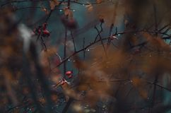 Autumn leaves, wild rose bush and raindrops royalty free stock photography