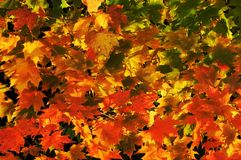 Autumn leaves in the wind. Colorful autumn leaves with a slight bit of wind motion Royalty Free Stock Photography