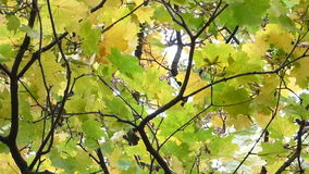 Autumn leaves in the wind stock video footage