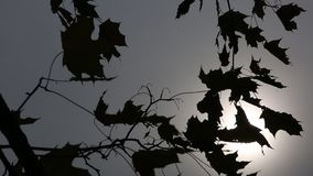 Autumn leaves in the wind.  stock video footage