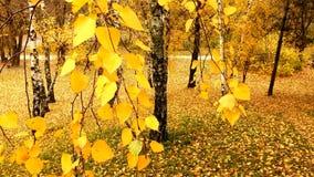 Autumn leaves stock video