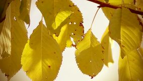 Autumn Leaves on Wind stock video