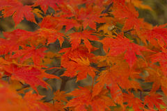 Autumn leaves in the wood Royalty Free Stock Photos