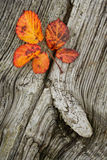 Autumn leaves on the wooden background. Autumn leaves on the old striped wooden background Royalty Free Stock Photography