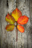Autumn leaves on the wooden background. Autumn leaves on the old striped wooden background Stock Photos