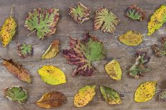 Autumn leaves on a wooden background planks with scattered colorful autumn leaves various colors Stock Photos