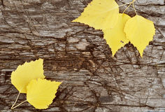 Autumn leaves on a wooden board. Yellow birch leaves on the old board stock photos