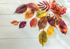 Autumn leaves yay rowan on a white wooden background Stock Image