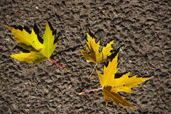 Autumn leaves. Autumn yellow leaves on the background of road Royalty Free Stock Images