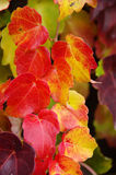 Autumn leaves. Yellow autumn leaves climbing plant Stock Photo