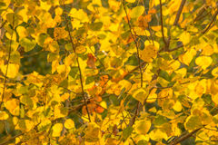Autumn Leaves in yellow color Royalty Free Stock Photo