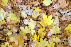 Autumn leaves. Autumn yellow leaves and dry leaves Royalty Free Stock Image