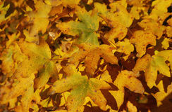 Autumn leaves. Yellow autumn leaves in the forest Royalty Free Stock Photo