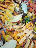 Autumn Leaves. Yellow, green, brown, withered and not very autumn leaves underfoot stock images