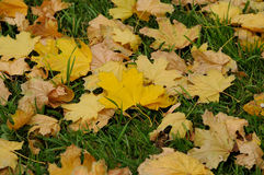 Autumn leaves. Yellow leaves on green grass Stock Photo