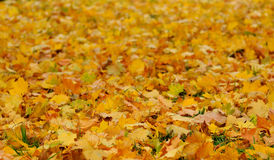 Autumn leaves. Yellow leaves on green grass Stock Images
