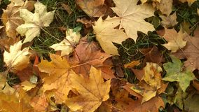 Autumn leaves. Yellow leaves on green grass Royalty Free Stock Image