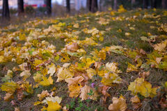 Autumn leaves. Yellow autumn leaves on the ground, leaf fall Stock Photography