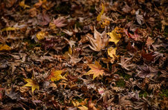 Autumn leaves with  yellow maple leaf on floor Stock Images