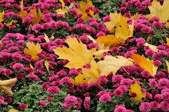 Autumn leaves. Yellow leaves on red flowers Stock Photo