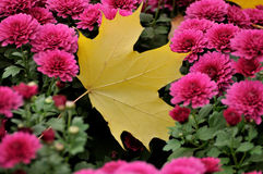 Autumn leaves. Yellow leaves on red flowers royalty free stock photo