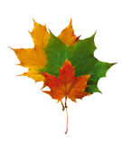 Autumn leaves yellow, red and green carved on a white background Royalty Free Stock Photos