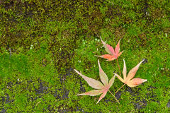 Autumn leaves with yellow and red maple leaf on moss.  Royalty Free Stock Photo
