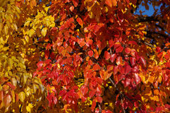 Autumn leaves. Yellow and red autumn leaves on a tree Stock Image