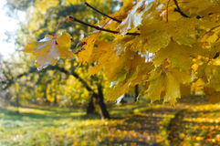 Autumn, leaves, yellow trees Stock Images